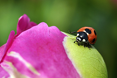 芍薬の蕾に天道虫