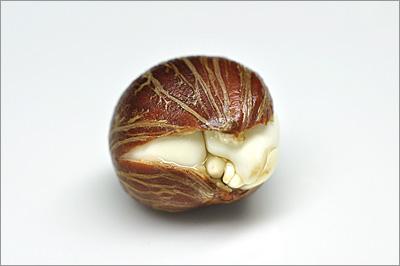 パキラの種