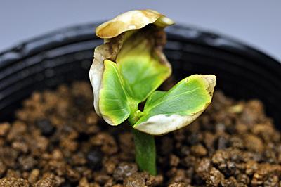 パキラの芽